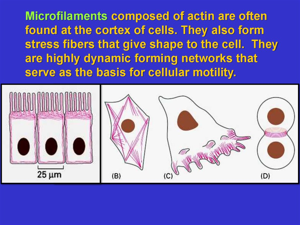 The cytoskeleton: microfilaments essential. Cell biology ...