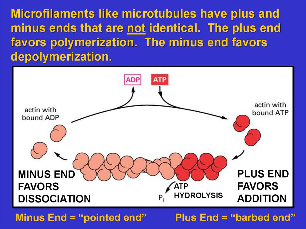slide 6 the cytoskeleton microfilaments essential cell biology online
