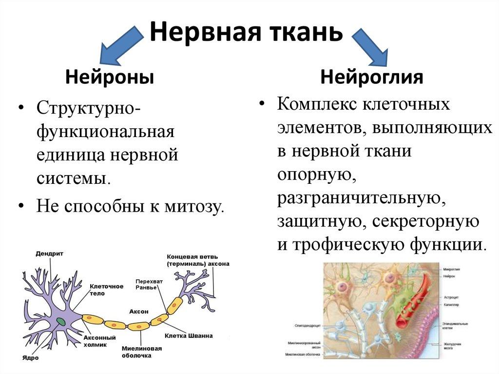 Нервная ткань картинках