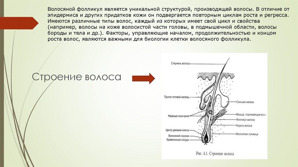 Форма волосяного фолликула