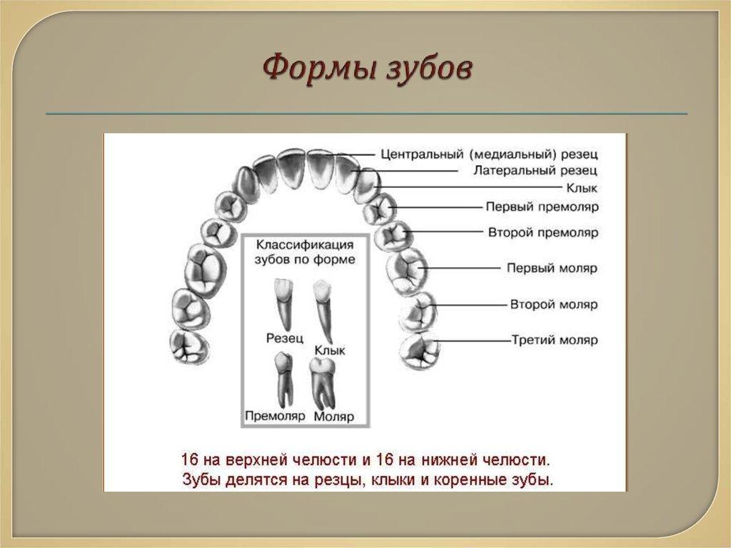 таких типы зубов человека в картинках цены, честные отзывы