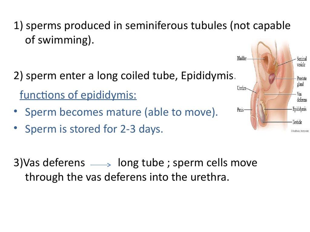Days for mature sperm