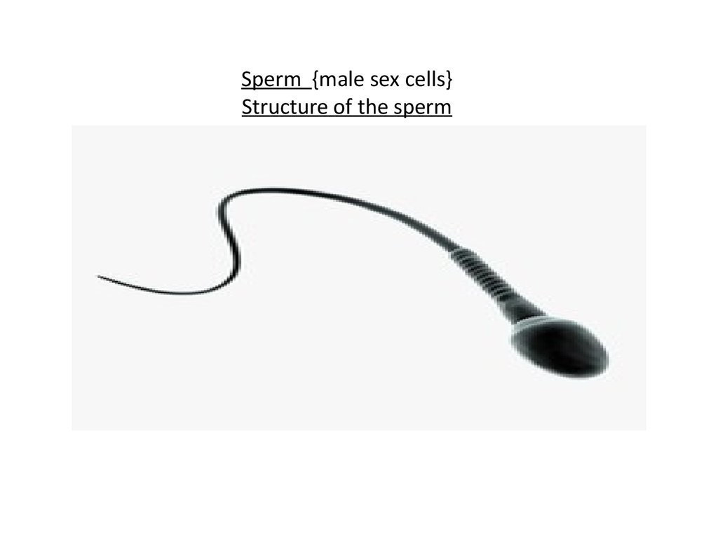 Sperm {male sex cells} Structure of the sperm