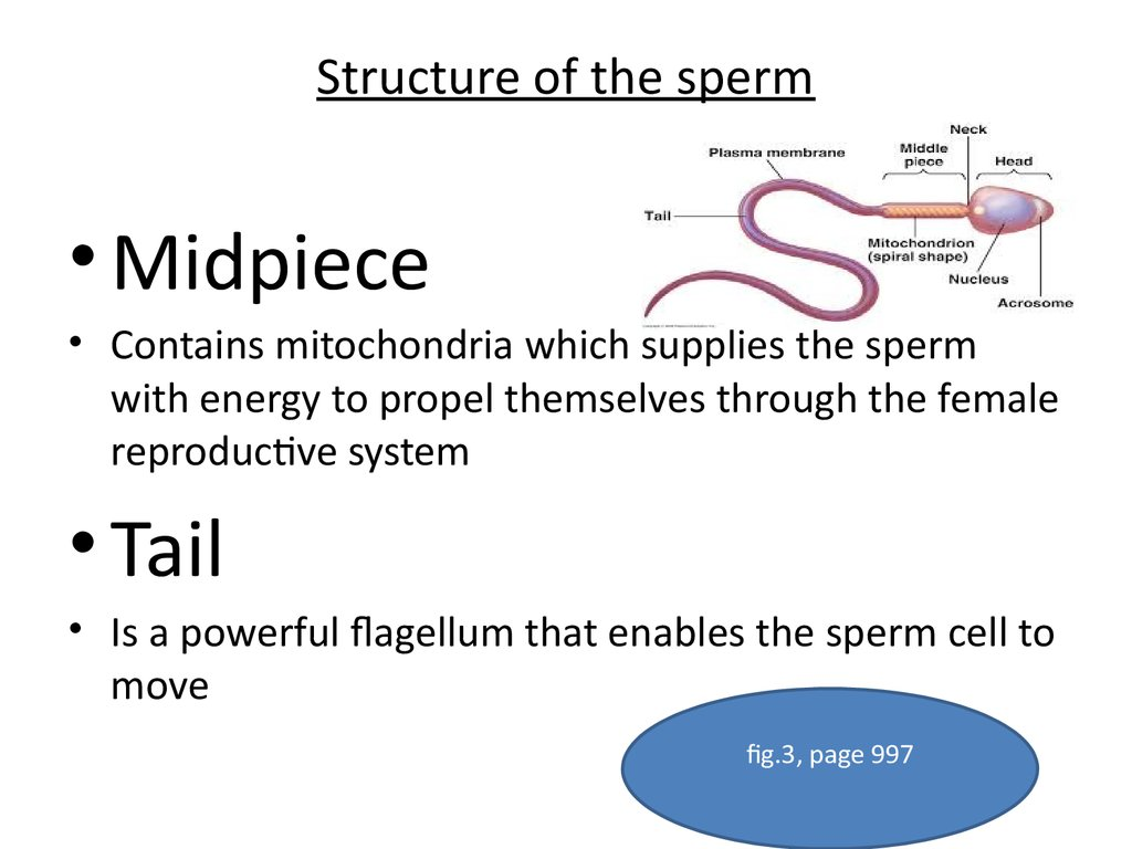 Structure of the sperm
