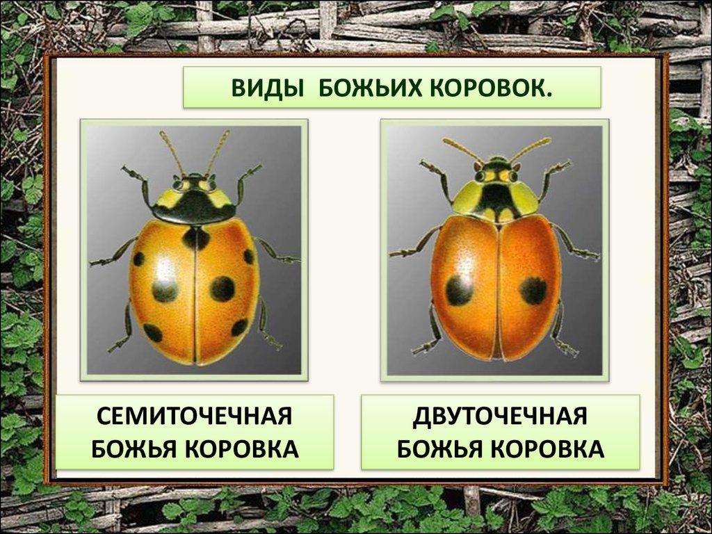 Полезные насекомые сада | Божья коровка в саду. | 768x1024