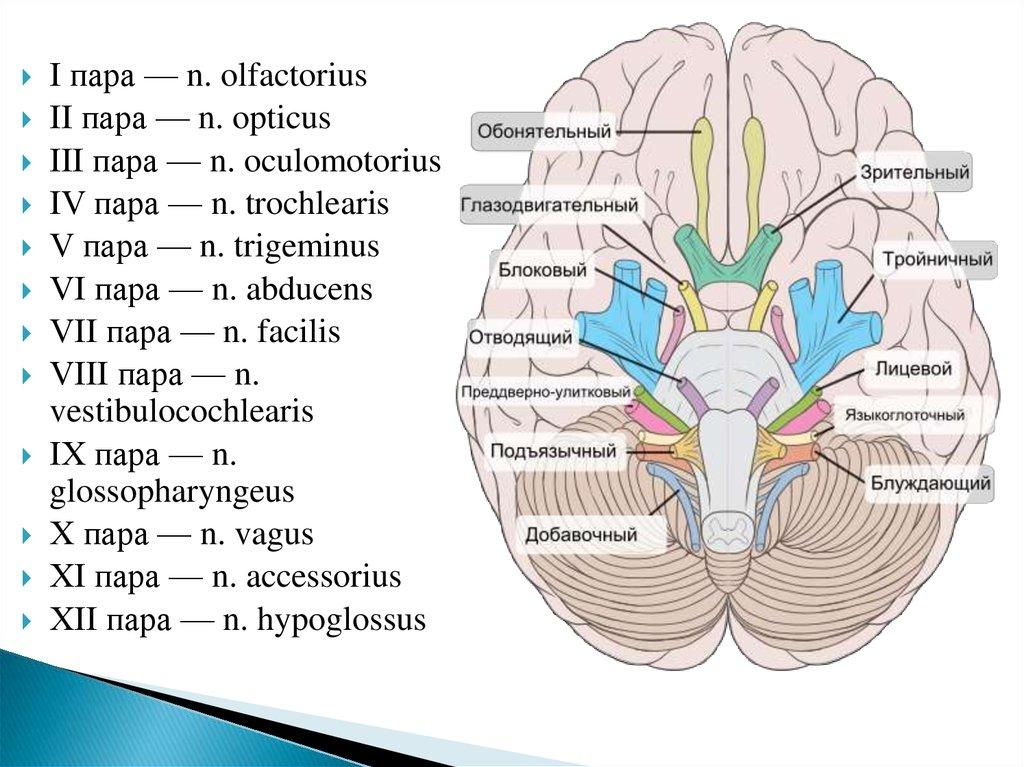 Ungewöhnlich N. Vestibulocochlearis Ideen - Menschliche Anatomie ...