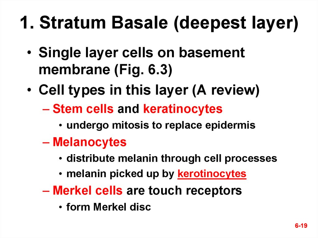 1. Stratum Basale (deepest layer)
