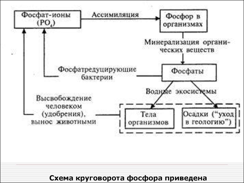 Схема круговорота фосфора в природе фото 854