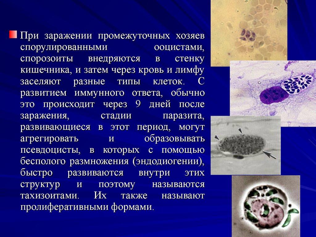 простейшие паразиты человека таблица