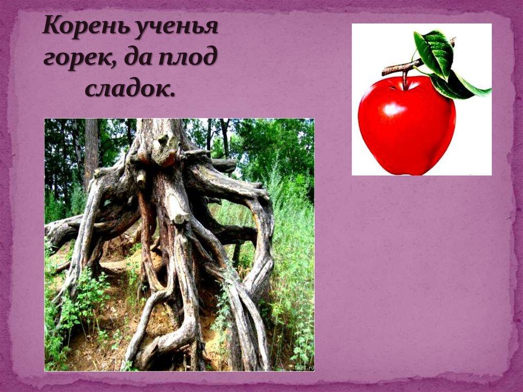 Рисунок к пословице корень учения горек да плод его сладок