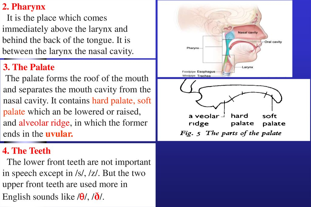 Introduction To Articulatory Phonetics  The Production Of