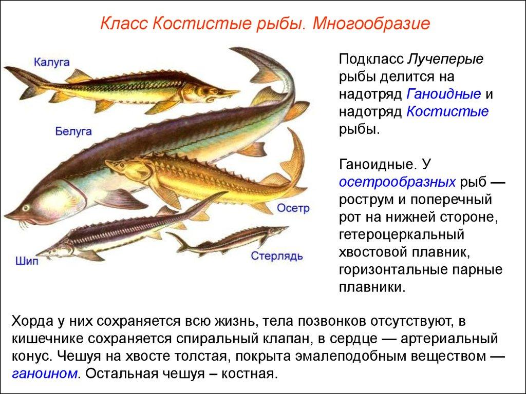 надотряды рыб