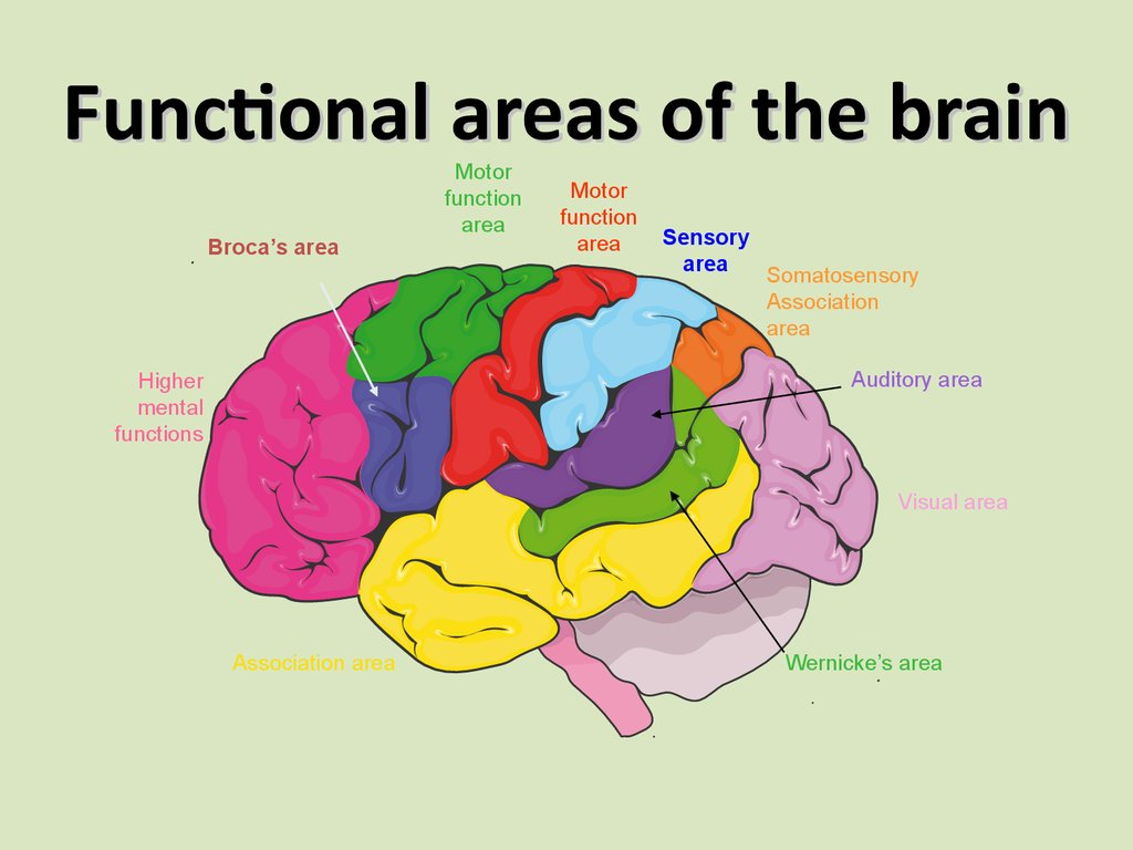 brocas area Broca's area is one of the main areas of the cerebral cortex responsible for producing language it controls motor functions involved with speech.