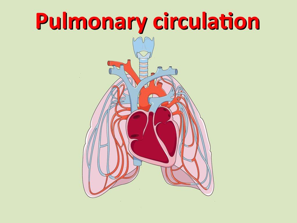Pulmonary Circulation Anatomy Images Human Body Anatomy