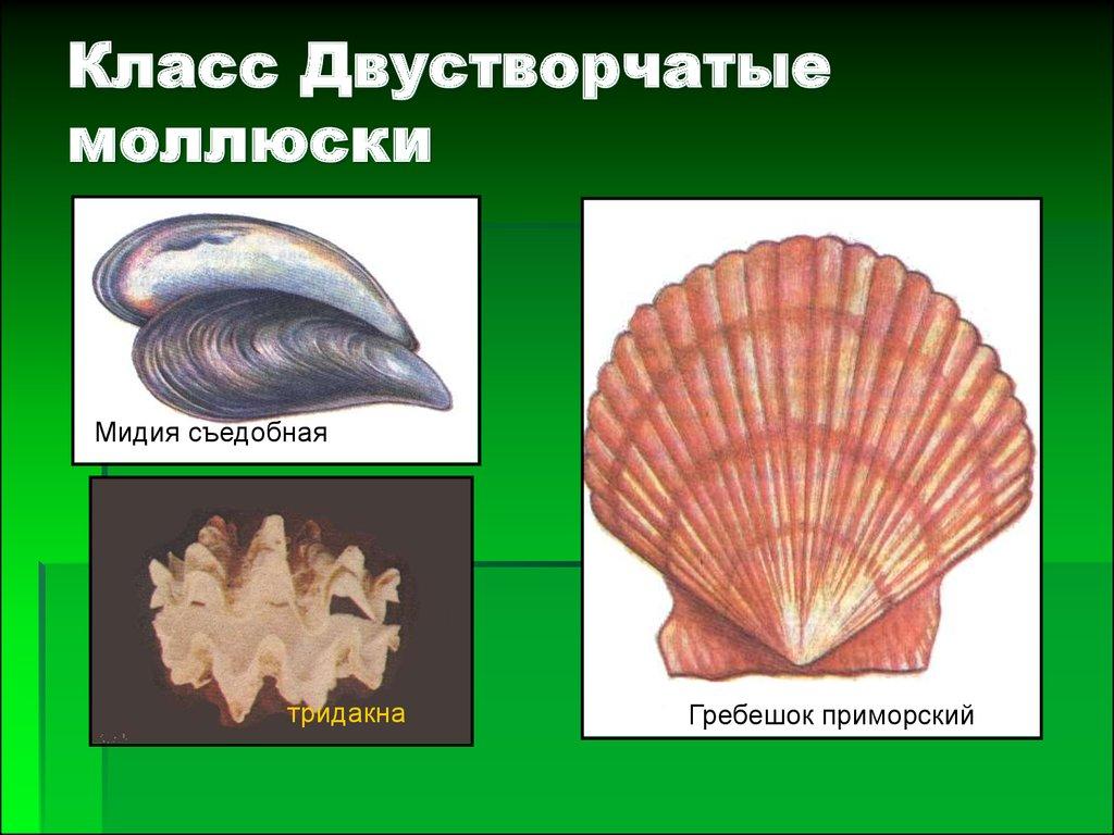 картинки брюхоногих и двустворчатых моллюсков том году ему