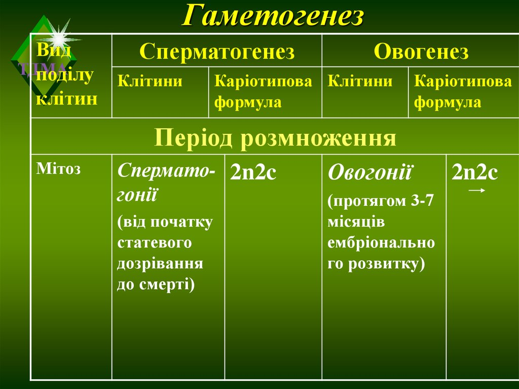 Гаметогенез ово сперматогенез х фази