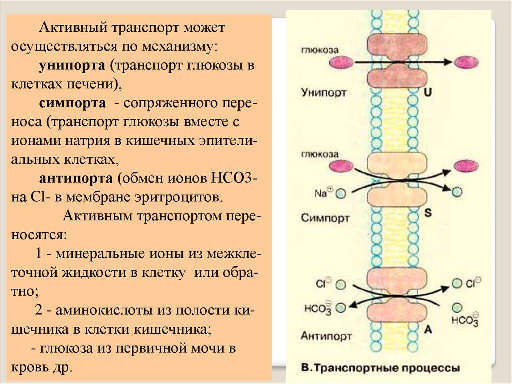 Натрий зависимый транспортер vin фольксваген транспортер т4