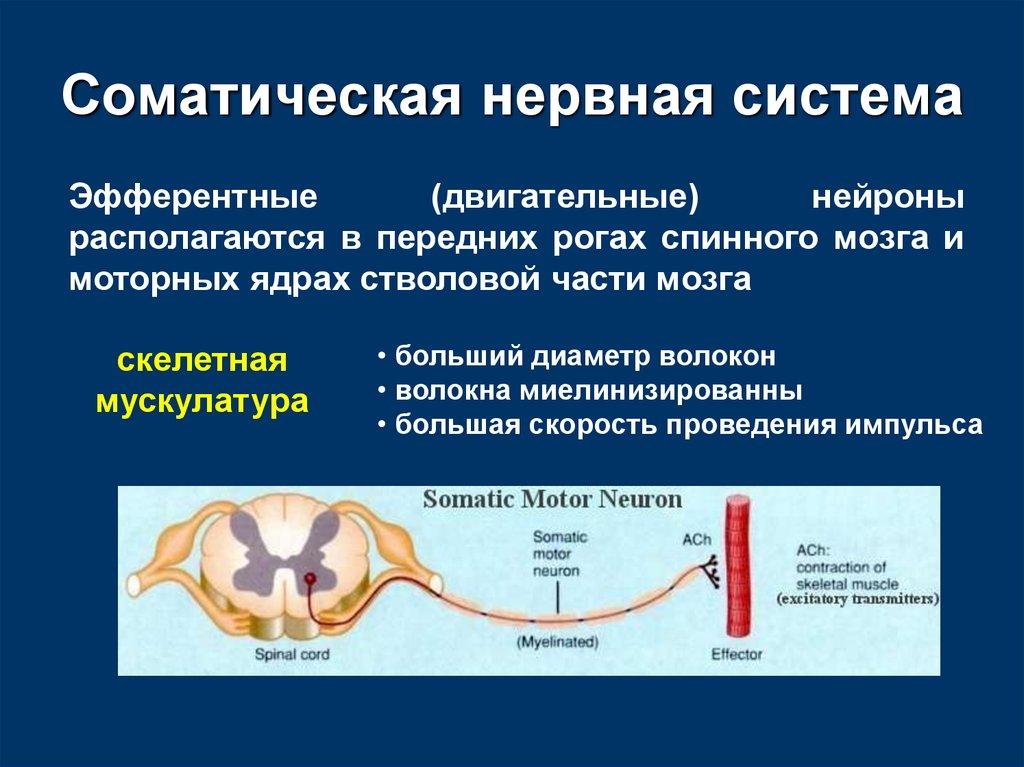 которого соматический отдел нервной системы возможности своевременной стирки