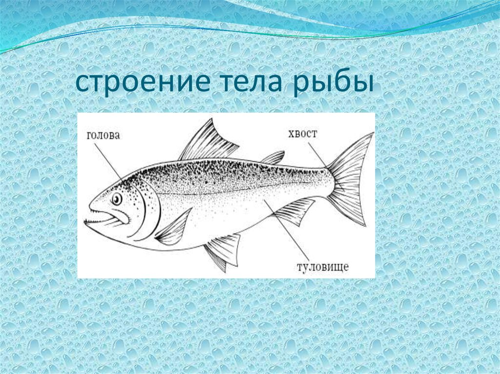 Строение рыбки картинки