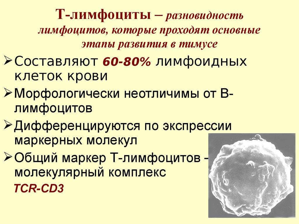 Иммунитет т и в лимфоциты