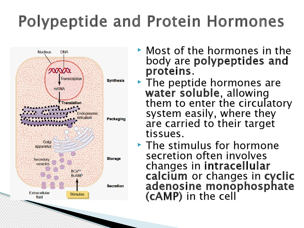 The Hormonal Regulation Of The Body Online Presentation