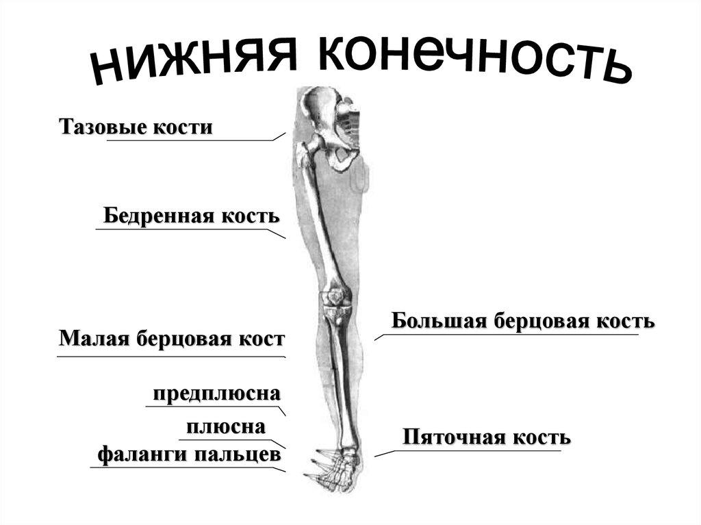 фото берцовая кость