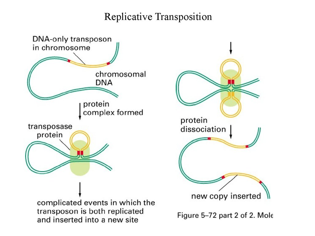 Transpositional Site-specific Recombination