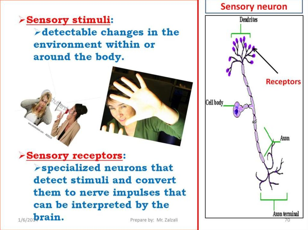 most sensory systems have a limited Human sensory systems objectives describe how sensory receptors communicate to the central nervous system 1 at present, the critical period hypothesis theory is widely accepted by numerous linguists evidence has been presented that there is a limited time when the brain is malleable (in.