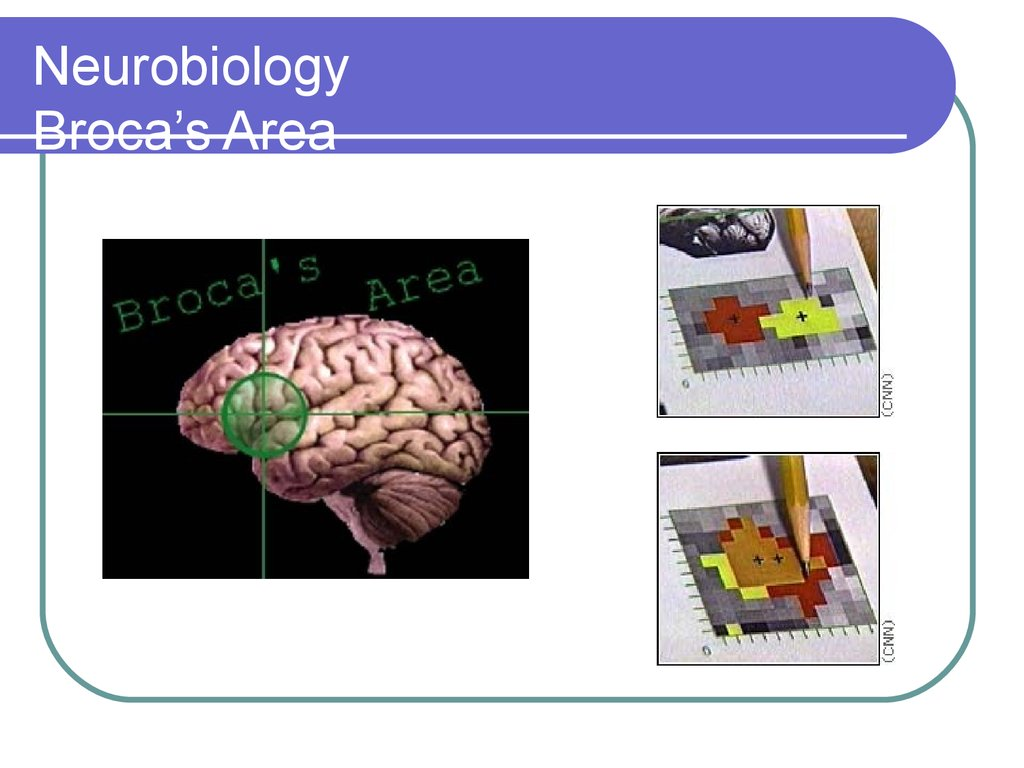 Neurobiology Broca's Area