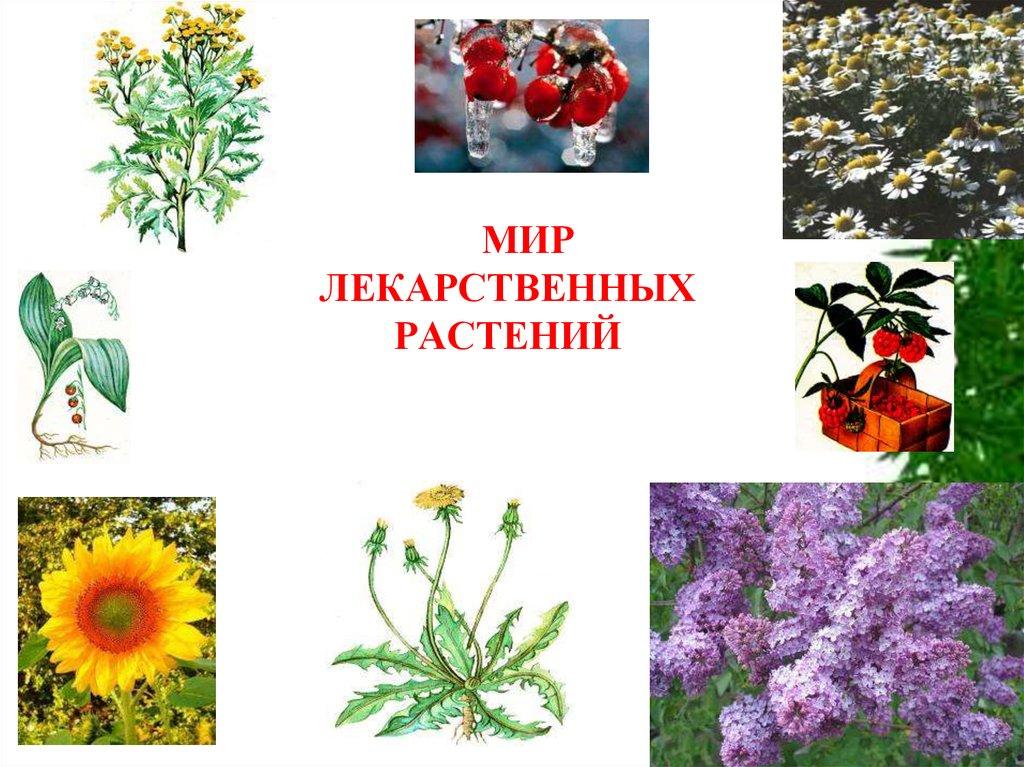 из-за мир лекарственных растений картинки состоит ромбов