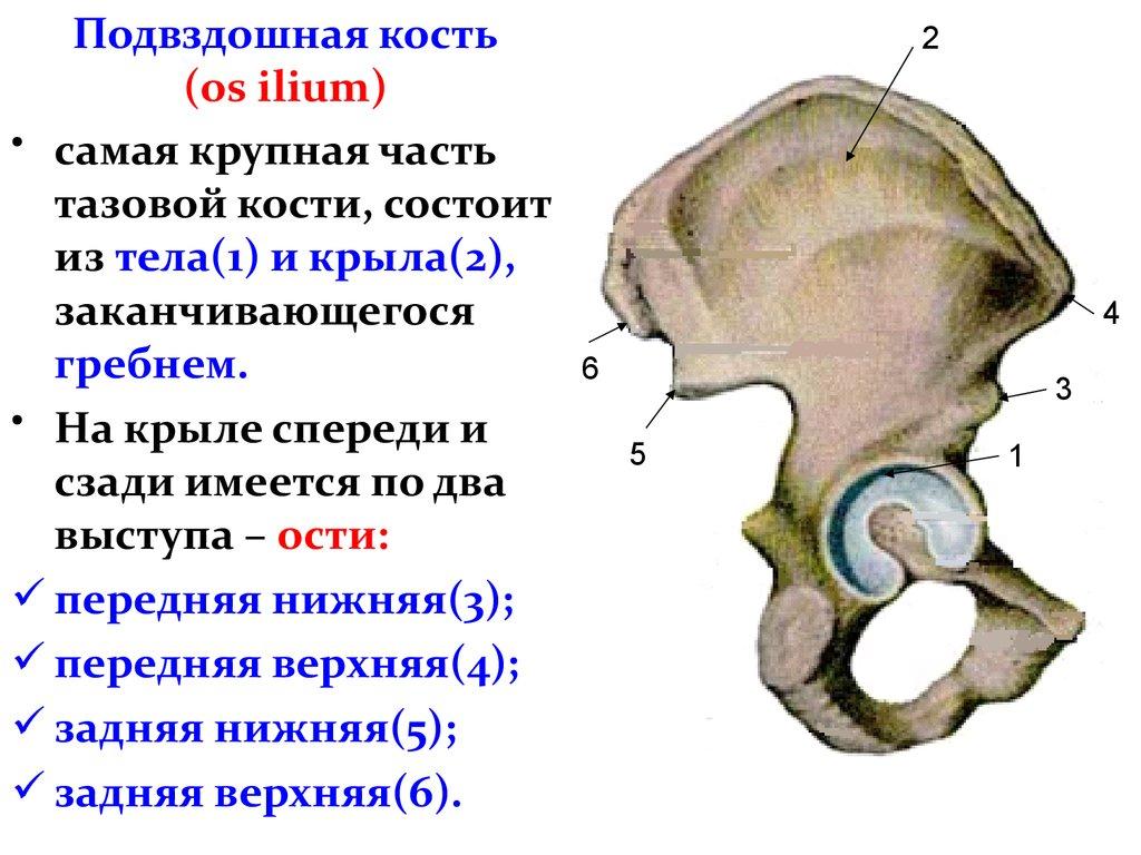 Седалищная и подвздошная кость от позвоночника