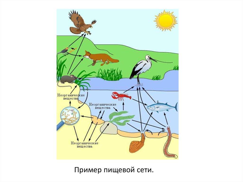 Картинки круговорота веществ в сообществе водоема