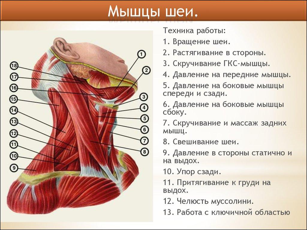 мышцы шеи фото с описанием и схемами щит