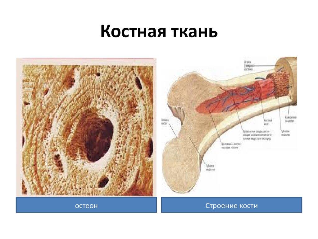Картинки костной ткани человека