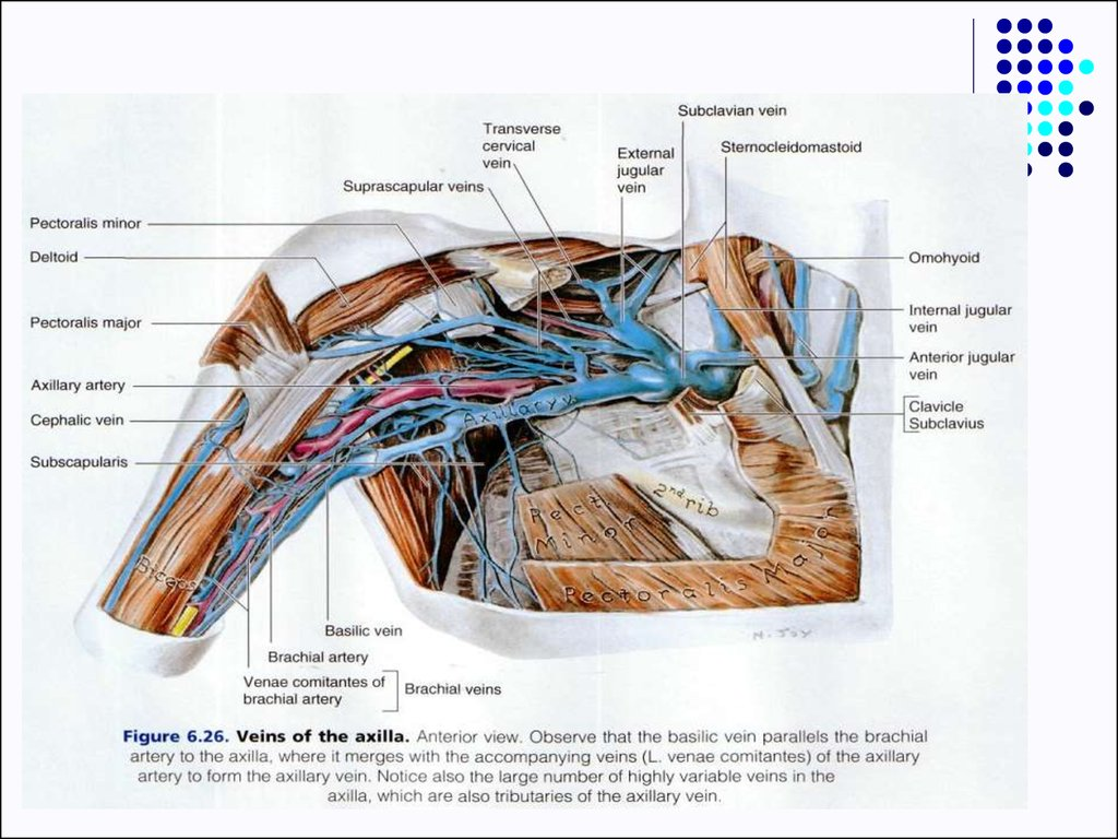 Dorable Axilla Anatomy Model - Anatomy and Physiology Tissue ...