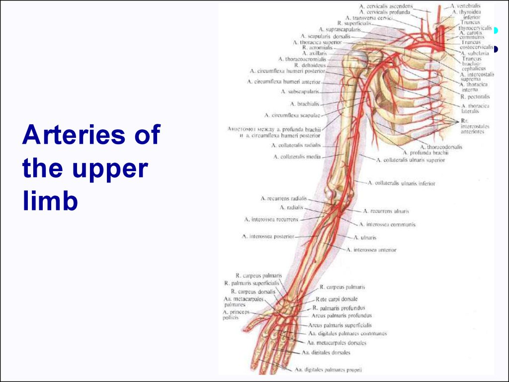 Clinical anatomy of the upper limb - презентация онлайн
