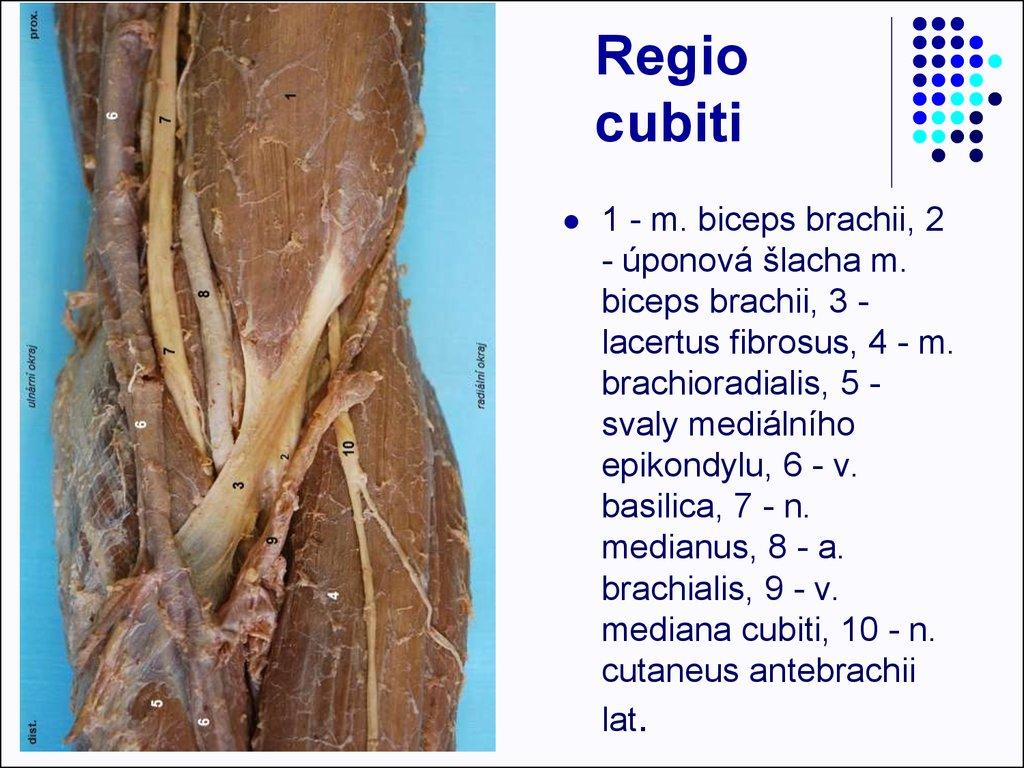 Anterior shoulder joint anatomy