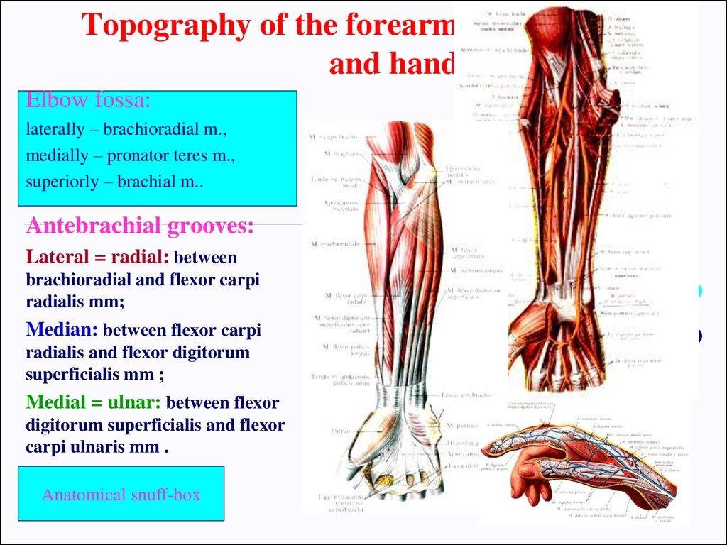 Clinical anatomy of the upper limb - презентация онлайн