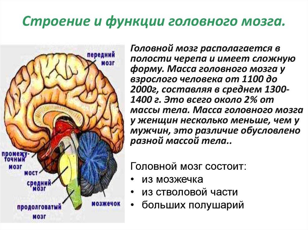 Строение мозга человека и его функции картинки
