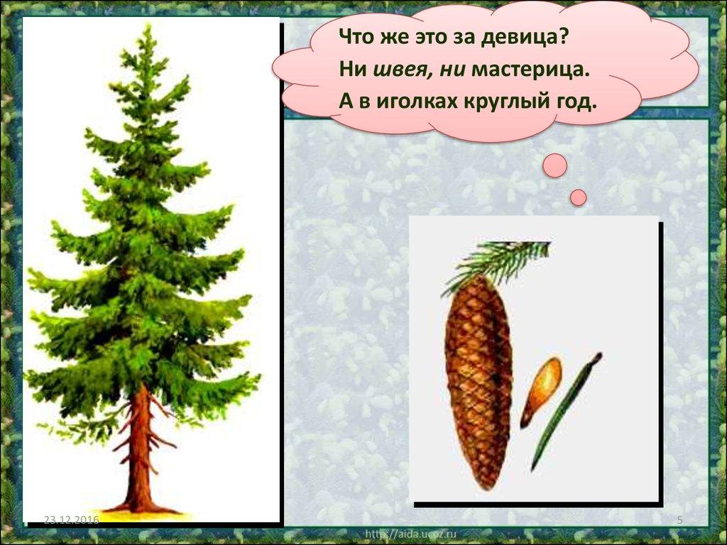какие хвойные породы деревьев