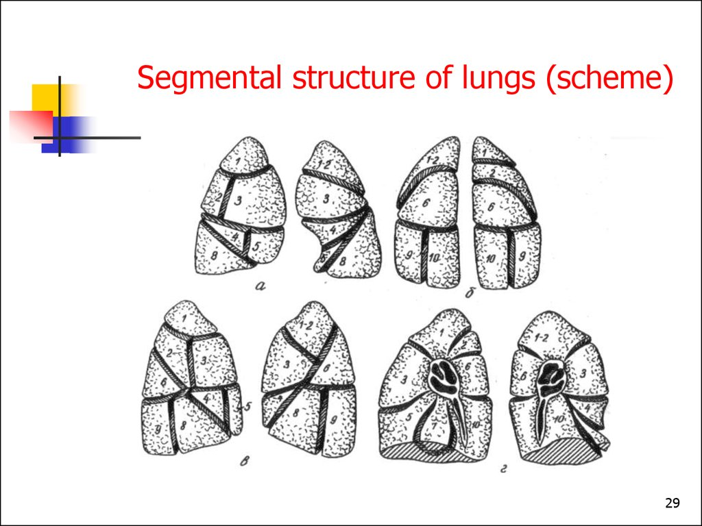 Segmental structure of lungs (scheme)