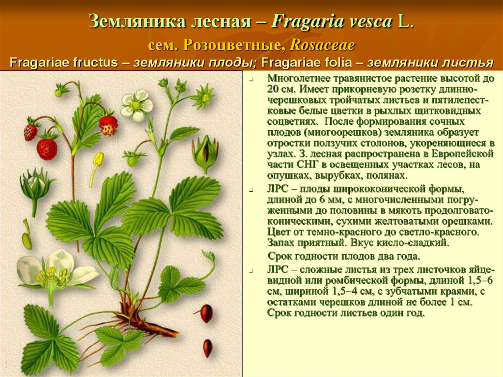 Листья лесной земляники полезные свойства