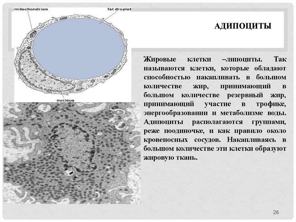 Строение адипоцита