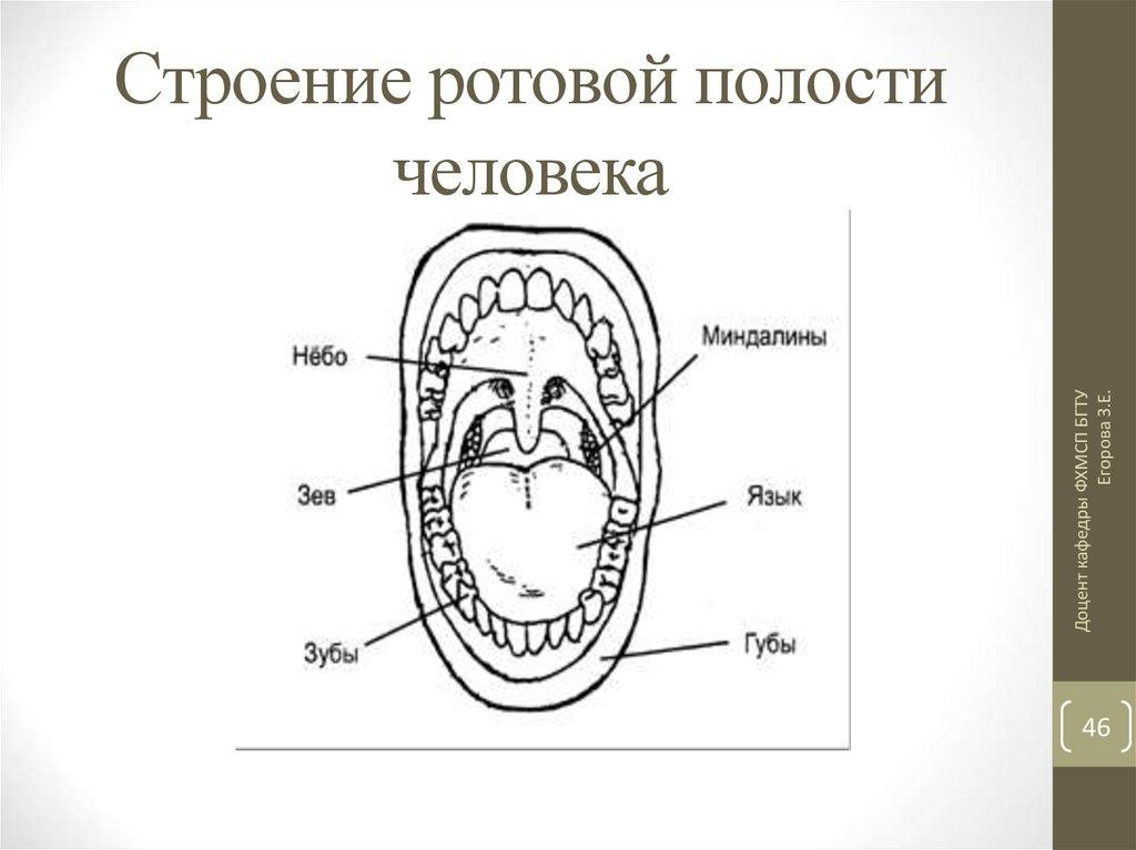 изготовлен рисунок полости рта человека самых высоких отдельностоящих