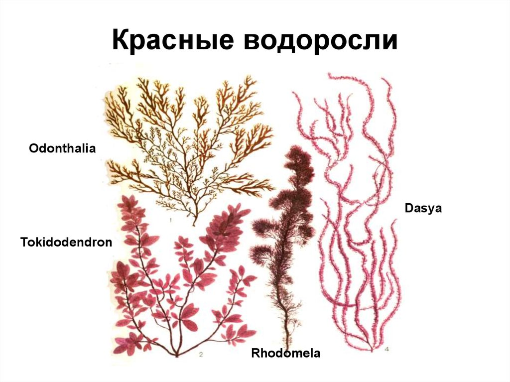 строение красной водоросли картинка фото