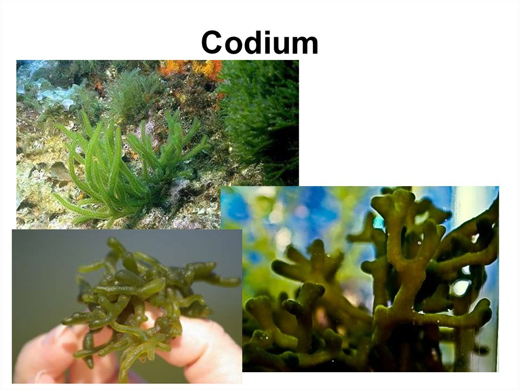 cultivation of codium I have observed hydrodictyon in abundance growing in relatively , cladophora, codium, and acetabularia the chlorophyta as a phylum is much.