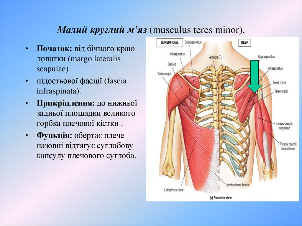 Малий круглий м'яз (musculus teres minor).