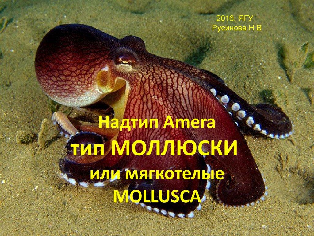 Amera Mollusca Online