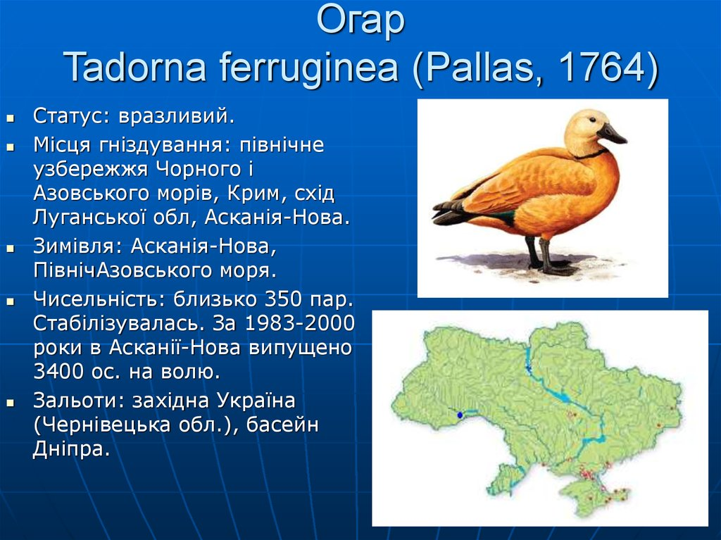 Огар Tadorna ferruginea (Pallas, 1764)
