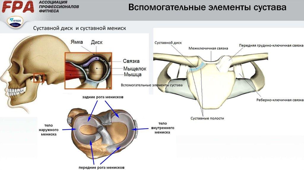 Анатомия опорнодвигательного аппарата человека